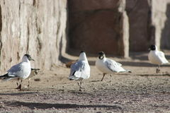 Andean gull Royalty Free Stock Image