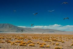 The Andean gull is a species of gull in the family Laridae. stock images