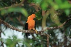 Andean hane-av--vagga Arkivfoton