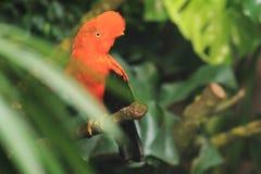 Andean hane-av--vagga Arkivfoto
