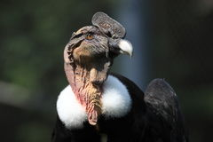 Andean kondor Stock Image