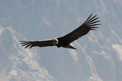 Andean kondor i flykten royaltyfri bild