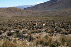 Andean lamas Stock Photos