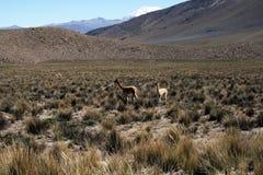 Andean lamas Stock Photos