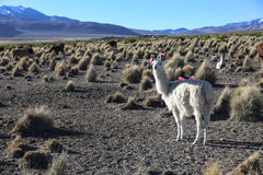 The Andean landscape with herd of llamas Royalty Free Stock Photo