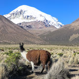 The Andean landscape with herd of llamas Royalty Free Stock Photos