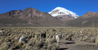 The Andean landscape with herd of llamas Stock Photography