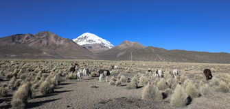 The Andean landscape with herd of llamas Stock Images