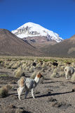 The Andean landscape with herd of llamas Stock Photo