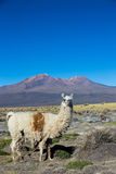 The Andean landscape with Prinacota volcano, Bolivia Stock Images
