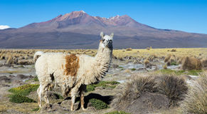 The Andean landscape with Prinacota volcano, Bolivia Royalty Free Stock Photo