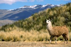 Andean Llama. This image was shot on the Tiwanaku grounds outside La Paz, Bolivia and shows an Alpaca Stock Photos