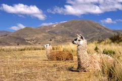 Andean Llamas. This image was shot on the Tiwanaku grounds outside La Paz, Bolivia and shows two Alpacas lying in the grass. The image was shot with  a Nikon F5 Royalty Free Stock Images