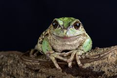 Andean marsupial tree frog  Gastrotheca riobambae. The Andean marsupial tree frog  Gastrotheca riobambae has a unique breeding behavior in having a pouch to Royalty Free Stock Photo