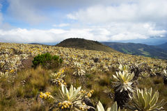 Andean Mountains. Landscape of mountains at colombia that shows paramo vegetation. frailejon plants have been diminished because of global warming effects Stock Photography