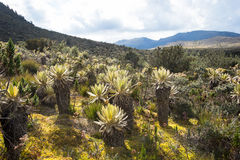 Andean Mountains. Landscape of mountains at colombia that shows paramo vegetation. frailejon plants have been diminished because of global warming effects Royalty Free Stock Photography