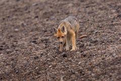 Andean räv (den Lycalopex culpaeusen) Fotografering för Bildbyråer