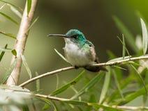 Andean smaragd, Amazilia franciae Royaltyfri Bild