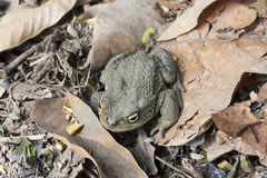 Andean toad (Rhinella spinulosa Wiegmann, 1834) is sitting on dry leaves. Andean toad (Rhinella spinulosa Wiegmann 1834) is sitting on dry leaves Royalty Free Stock Photo