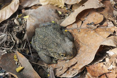 Andean toad (Rhinella spinulosa Wiegmann, 1834) is sitting on dry leaves. Andean toad (Rhinella spinulosa Wiegmann 1834) is sitting on dry leaves Royalty Free Stock Image