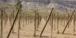 Andean vineyards. Stock Photography