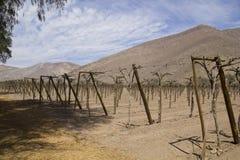 Andean vineyards. Stock Photos
