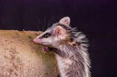 Andean white eared opossum on a branch zarigueya Stock Photography