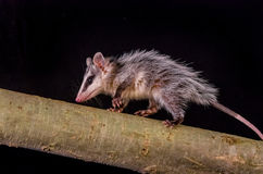 Andean white eared opossum on a branch zarigueya Royalty Free Stock Photo
