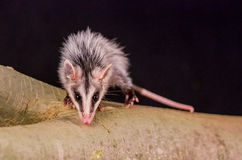 Andean white eared opossum on a branch zarigueya Royalty Free Stock Photos