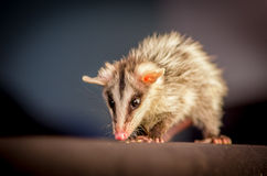 Andean white eared opossum on a branch zarigueya Stock Photo