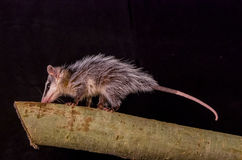 Andean white eared opossum on a branch zarigueya Royalty Free Stock Images