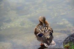 Anden vilar över sjön Fotografering för Bildbyråer