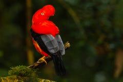 Andenklippenvogel stockbilder