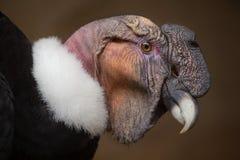 Andenkondor u. x28; Vultur gryphus& x29; Stockfoto