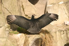 Andenkondor - Vultur gryphus stockbilder