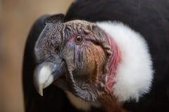 Andenkondor Vultur gryphus Lizenzfreie Stockfotografie