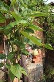 Andentomate in meinem Biogarten stockfotos
