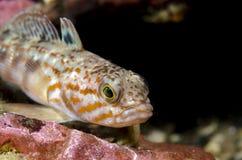 Andere Nothothenid-Fische Lizenzfreie Stockfotos