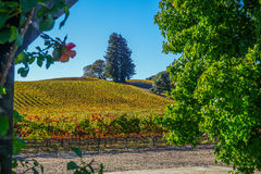 Anderson Valley Vineyards Fotografia de Stock Royalty Free