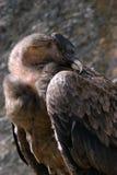 Andes Condor. Portrait from sleeping Andes Condor Vultur gryphus cóndor andino condor-dos-andes royalty free stock images