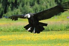 Andes condor Stock Foto