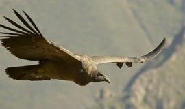 Andes condor tijdens de vlucht Royalty-vrije Stock Foto