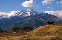 Andes e vaca Fotografia de Stock Royalty Free