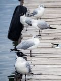 Andes gull in a dock in Copacabana, lake Titicaca stock images
