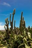 andes kaktus Royaltyfri Fotografi