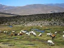 andes llamas Arkivfoton