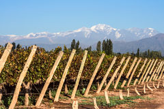 Andes mountain range, in the Argentine province of Mendoza. Early morning in the late autumn: Volcano Aconcagua Cordillera and Vineyard. Andes mountain range, in royalty free stock photo