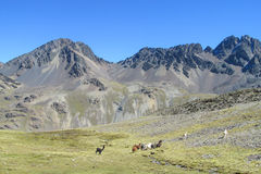 Andes mountains valley and alpacas Royalty Free Stock Photo