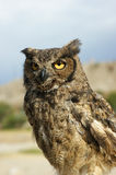 Andes owl Stock Images