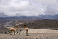 Andes Vicugnas Stock Image
